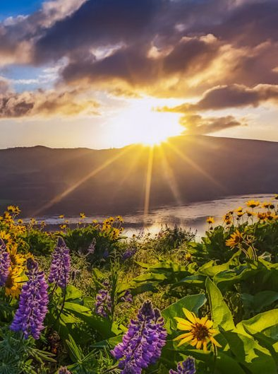 Sunrise over Field of Flowers
